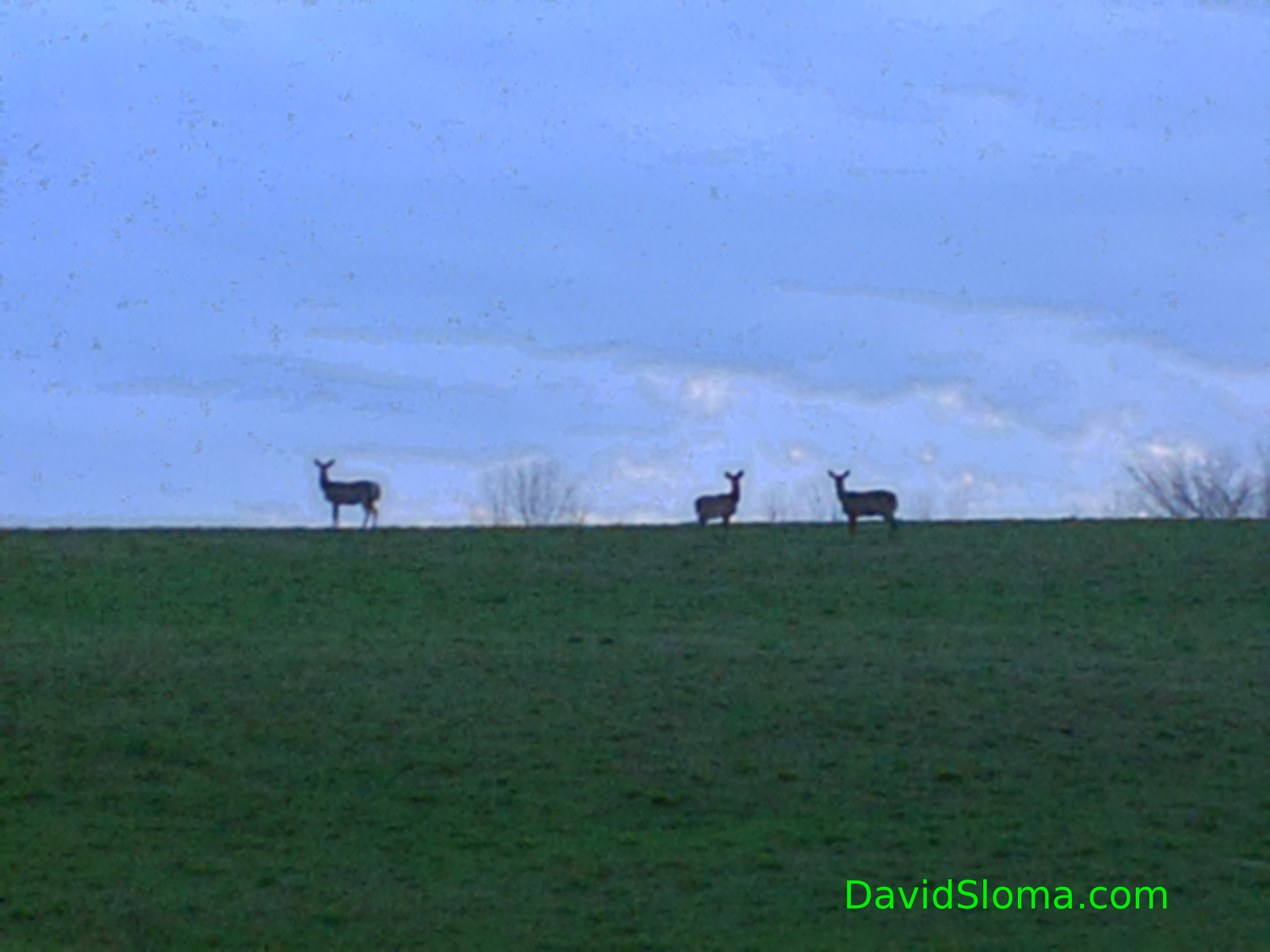 Three Deer on the Hill